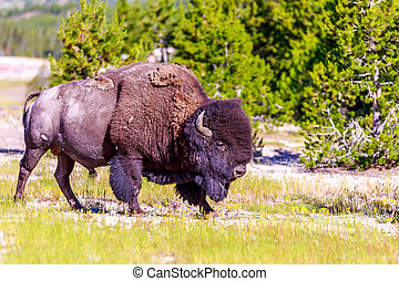 Adult Bison wanders inside Yellowstone National Park