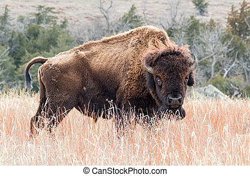 American bison grazing in a brown grass field