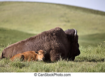 American Bison and baby