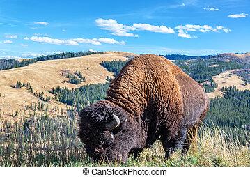 American Bison and Landscape