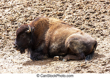 American Bison at Hayden Valley in Yellowstone National Park