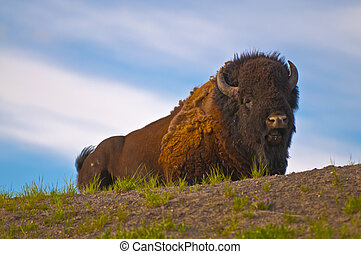 Beautiful Majestic Buffalo lying on the grass in Yellowstone