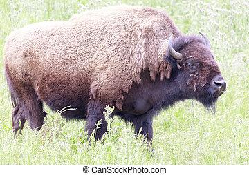 American Bison (Buffalo) Cow Grazing