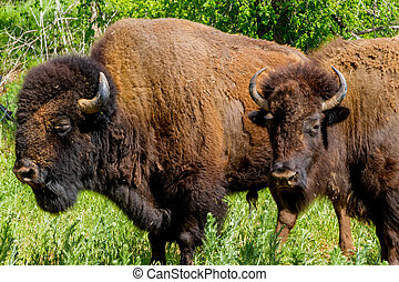 American Bison Buffalo in Oklahoma
