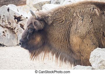 American Bison Buffalo side profile
