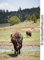 American bison, buffalo, Utah, USA