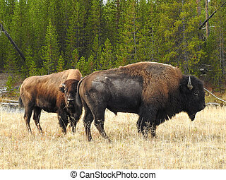American Bison Bull and Cow during the Rut in Autumn