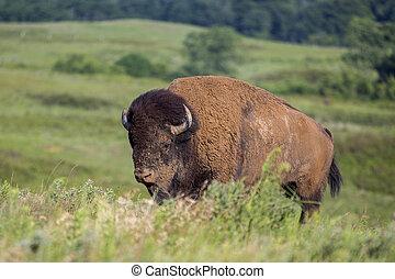 American bison bull climbing hill