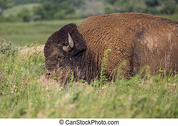 American bison bull in tall grass