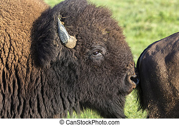 American bison bull sniffing cow