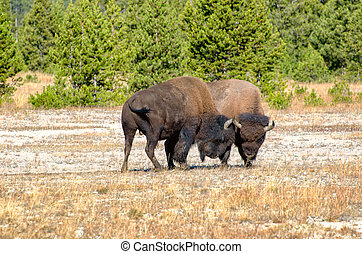 American Bison Butting Heads in the Autumn Season in Yellowstone National Park