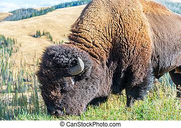 American Bison Closeup
