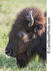 American bison cow head in profile