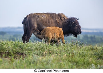 American bison cow with calf - American bison cow with...