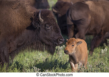 American bison cow with calf in herd; Maxwell Wildlife...