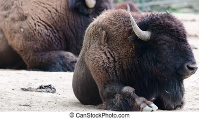 American Bison. Geographic Range: original North American...