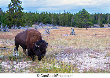 American Bison Grazing at Yellowstone National Park
