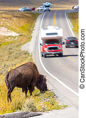 American Bison Grazing by Roadside in Yellowstone With Passing Cars