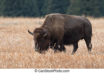 American bison grazing in a meadow