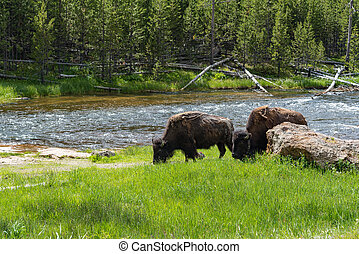 American Bison grazing in Yellowstone