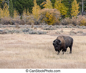 American Bison in Autumn on the Sagebrush Flats of Grand Teton National Park
