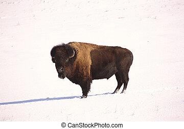 American Bison in snow covered field of Saskatchewan