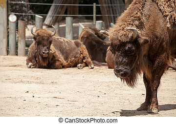 American Bison in sunny day
