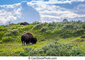 Buffaloes roaming around in the greenery pasture of the preserve park