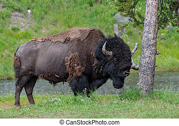 American Bison in the Lamar Valley of Yellowstone National Park USA