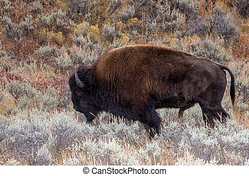 American Bison in the Sagebrush Flats of Grand teton National Park