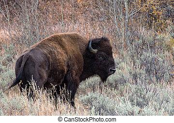 American Bison in the Sagebrush Flats of Grand teton National Park