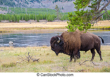 American Bison in Yellowstone National Park alongside the Madison River