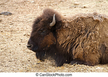 American bison laying in grass hay