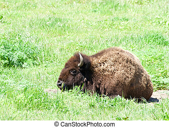 American bison laying in green grass