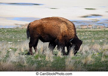 American Bison Photo