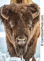 American Bison Portrait. American Buffalo Closeup. Colorado,...