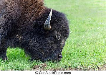 American bison profile