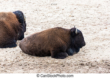 American Bison Resting at Hayden Valley in Yellowstone National Park