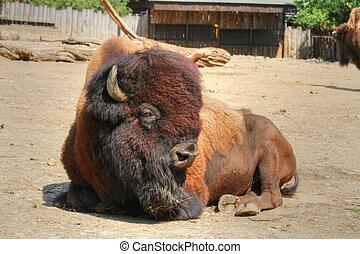 American bison - lying strong ungulate animal (American...