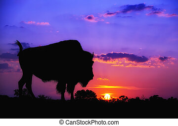 American Bison sunset silhouette
