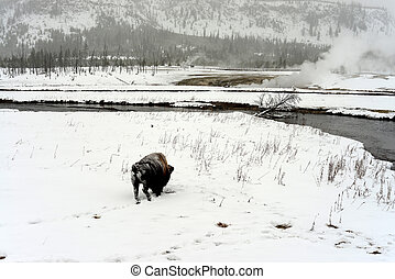 American Bison Yellowstone National Park