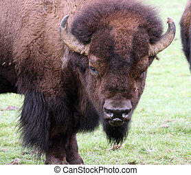 American Bison/Buffalo. Photo taken at Northwest Trek Wildlife Park, WA.