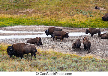 American Bisons at Hayden Valley in Yellowstone National Park
