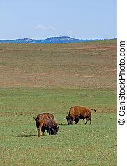 American bisons in green field