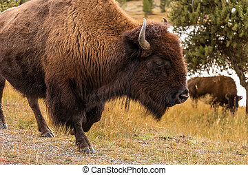 American bisons on grass field in Yellowstone.