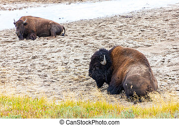 American Bisons Resting at Hayden Valley in Yellowstone National Park