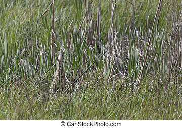 American Bittern classic pose amongst reeds at Richmond BC ...