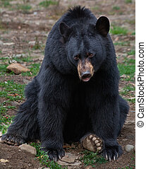 A black bear is sitting and looking at the camera.