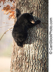 American black bear cub clinging to the side of a tree in ...