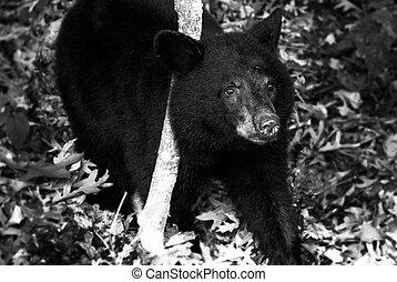 American black bear cub, seen along Skyline Drive in Shenandoah National Park, Virginia.